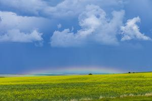 A Low Altitude Rainbow Visible over the Yellow Canola Field, Gleichen, Alberta, Canada