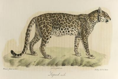 A Male Leopard
