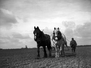 A Man on a Farm Harvesting in a Field with His Two Horses