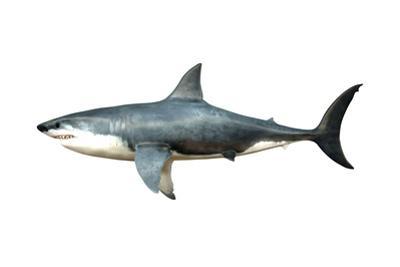 A Megalodon Shark from the Cenozoic Era