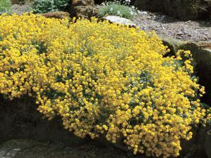 Basket of Gold Flowers Growing on a Rock (Alyssum Saxatile) by A. Moreschi