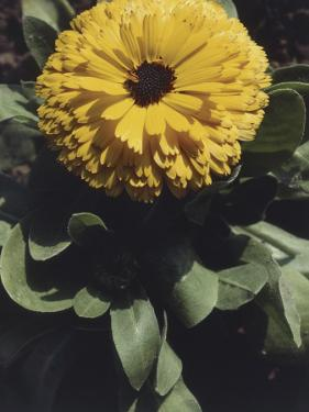 Close-Up of a Pot Marigold Flower (Calendula Officinalis) by A. Moreschi