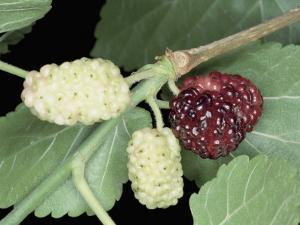 Close-Up of Black Mulberries on a Tree Branch (Morus Nigra) by A. Moreschi