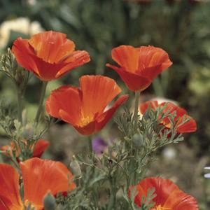 Close-Up of California Golden Poppy Flowers (Eschscholzia Californica) by A. Moreschi
