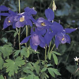Close-Up of Colorado Blue Columbine Flowers (Aquilegia Caerulea) by A. Moreschi
