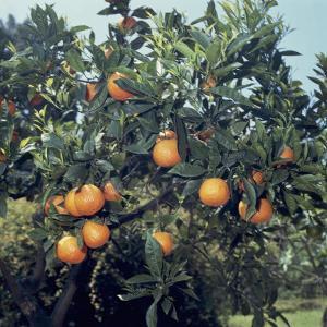 Close-Up of Sour Oranges on a Tree (Citrus Aurantium) by A. Moreschi