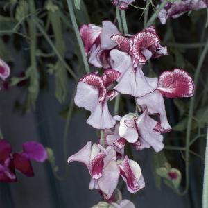 Close-Up of Sweetpea Flowers (Lathyrus Odoratus) by A. Moreschi