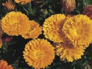 High Angle View of Pot Marigold Flowers (Calendula Officinalis) by A. Moreschi