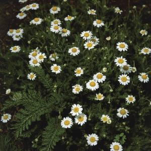 High Angle View of Roman Camomile Flowers (Anthemis Nobilis) by A. Moreschi