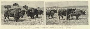 A Novel Experiment, Buffalo Farming in Nebraska