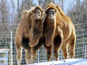 A Pair of Bactrian Camels