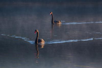 https://imgc.allpostersimages.com/img/posters/a-pair-of-black-swan-cygnus-atratus-on-a-misty-lake-in-brazil-s-ibirapuera-park_u-L-Q135UP00.jpg?p=0