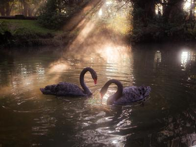 https://imgc.allpostersimages.com/img/posters/a-pair-of-black-swan-cygnus-atratus-on-a-misty-lake-in-brazil-s-ibirapuera-park_u-L-Q135UQ30.jpg?p=0