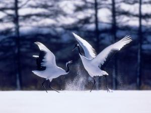 A Pair of Cranes Dancing, Tsurui Village, Hokkaido, Japan