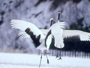 A Pair of Cranes, Hokkaido, Japan