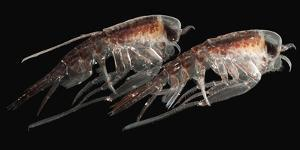 A Pair of Hyperiid Amphipod, Southern Ocean, Antarctica