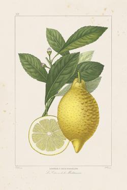 Les Citrons I by A. Poiteau