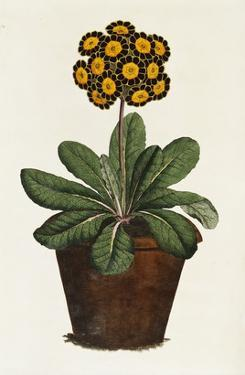 A Pot of Auricula French Print