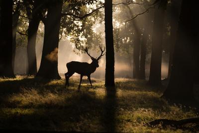 https://imgc.allpostersimages.com/img/posters/a-red-deer-stag-walks-through-a-forest-in-the-early-morning-mist-in-richmond-park-in-autumn_u-L-POLRU20.jpg?p=0