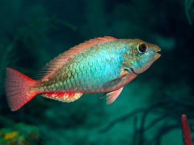 https://imgc.allpostersimages.com/img/posters/a-redband-parrotfish-floats-motionless-off-the-coast-of-key-largo-florida_u-L-PJ39W10.jpg?artPerspective=n