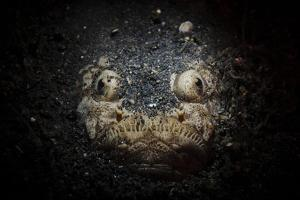 A Reticulate Stargazer Buried in Sand, Lembeh Strait, Indonesia