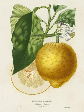 French Lemon Botanical I by A. Risso