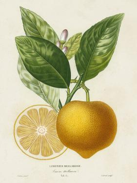 French Lemon Botanical III by A. Risso