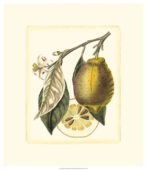 French Lemon Study II by A^ Risso