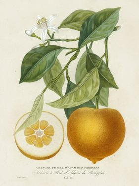 French Orange Botanical I by A. Risso
