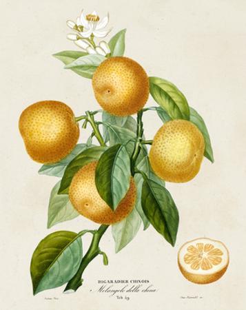 French Orange Botanical III