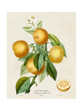 French Orange Botanical III by A. Risso