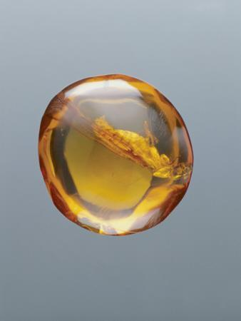 Close-Up of the Fossil of an Insect in Transparent Amber, Santo Domingo