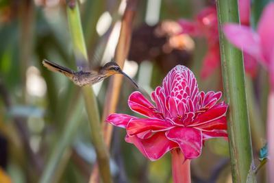https://imgc.allpostersimages.com/img/posters/a-saw-billed-hermit-bird-feeds-from-a-red-ginger-plant-flower-in-the-atlantic-rainforest_u-L-Q135X6F0.jpg?p=0