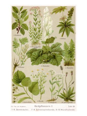 https://imgc.allpostersimages.com/img/posters/a-selection-of-11-healing-plants-and-herbs-including-camomile-and-rhubarb_u-L-P9O4B10.jpg?p=0