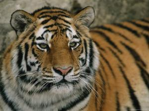 A Siberian Tiger Rests in its Outdoor Enclosure