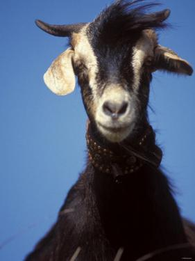 A Single Goat