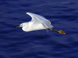 A Snowy White Egret Flies Above the Morro Bay Estuary