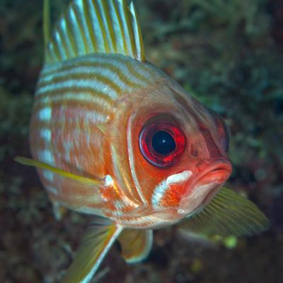 https://imgc.allpostersimages.com/img/posters/a-squirrelfish-turns-and-looks-close-into-the-camera-off-the-coast-of-key-largo-florida_u-L-PJ37AQ0.jpg?artPerspective=n