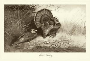 Wild Turkey by A. Thorburn