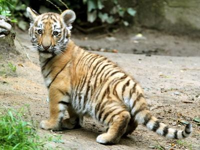 A Three Month Old Siberian Tiger Cub at the Duisberg Zoo in Germany