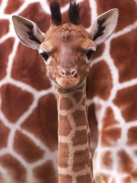 A Three Week Old Baby Giraffe at Whipsnade Wild Animal Park Pictured in Front of Its Mother