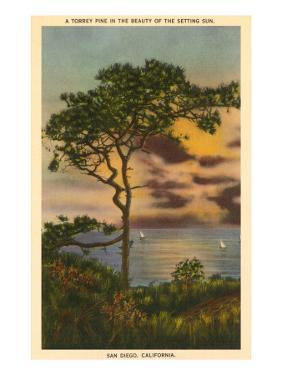 A Torrey Pine, San Diego, California