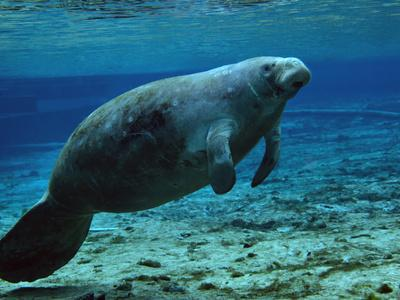 https://imgc.allpostersimages.com/img/posters/a-west-indian-manatee-in-the-shallow-freshwater-of-fannie-springs-florida_u-L-PJ37CG0.jpg?artPerspective=n