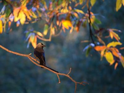 https://imgc.allpostersimages.com/img/posters/a-western-jackdaw-corvus-monedula-on-a-branch-at-sunrise_u-L-POKPHM0.jpg?p=0