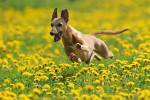 A Whippet Running Through a Meadow Covered in Dandelions