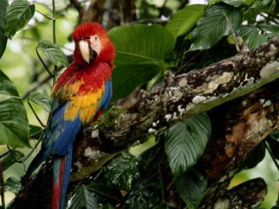 A Wild Scarlet Macaw Perched on a Tree in Costa Rica