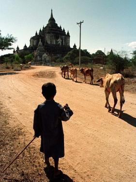 A Young Burmese Boy Tends His Family's Cows Near the Thatbinnyu Temple