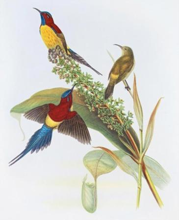 Nectarinia Gouldiae by Aaron Ashley