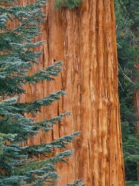 Evergreen and Sequoia Tree Trunk by Aaron Horowitz
