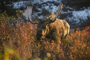 A Bull Moose in Autumn Vegetation in Denali National Park by Aaron Huey